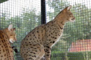 Savannah Katten Verblijven