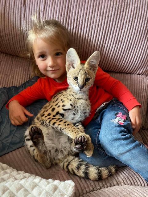 serval lief en sociaal