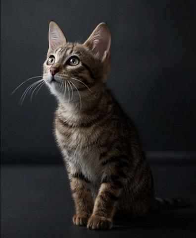 savannah kitten kijkt