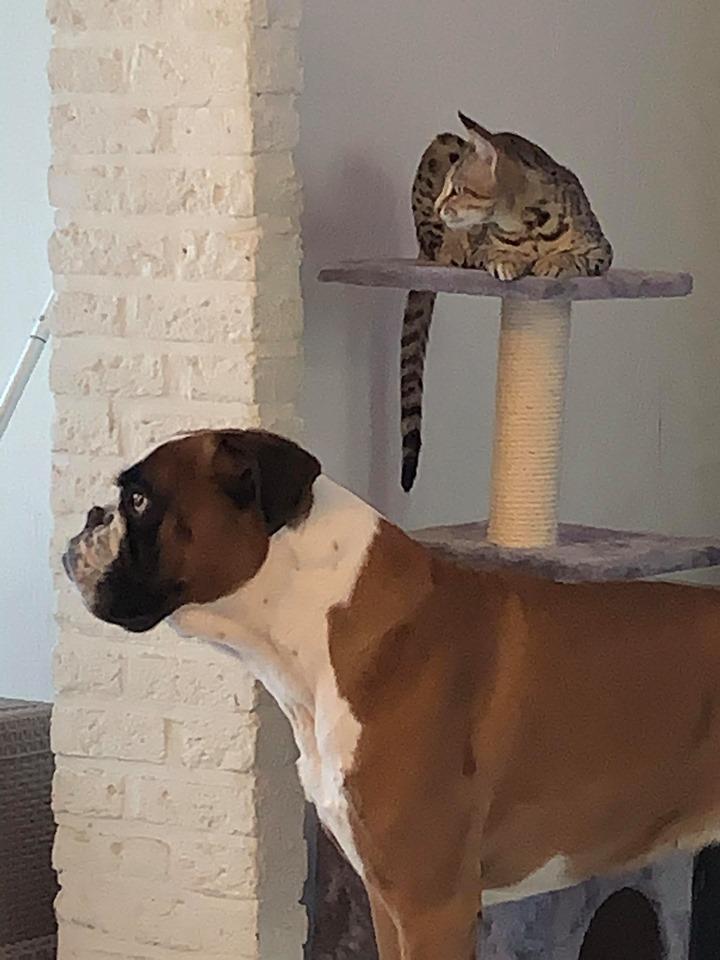 savannah kitten met hond