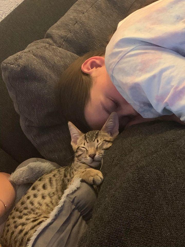 savannah kitten slaapt